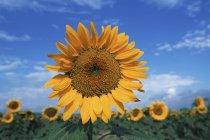 Sonnenblumenkerne Kopf steigt über Pflanzen in Feld, britische Columbia, Kanada. — Stockfoto