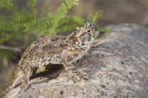 Lagarto de cuernos que está parado en roca en Arizona, Estados Unidos - foto de stock