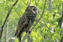 Adulto grande gufo grigio che riposa sulla filiale di albero nella foresta — Foto stock