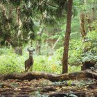 Blacktail deer buck in green forest — Stock Photo