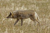 Caza del Coyote en el Prado, Parque Nacional de los lagos Waterton, Alberta, Canadá. - foto de stock