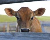 Curious calf in barnyard of farm in Alberta, Canada. — Stock Photo