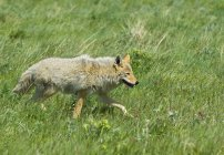 Coyote hunting on prairie grassland of Waterton Lakes National Park, Alberta, Canada. — стоковое фото