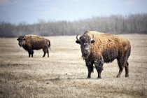 Plains bisons shedding winter coat at prairie of Manitoba, Canada — Stock Photo