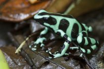Green and black poison dart frog perched in leaves in rain forest. — Stock Photo