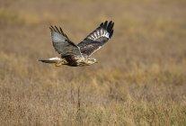 Грубый – legged hawk пролетел в луг — стоковое фото