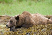 Grizzly oso relajante sobre rocas cubiertas de musgo en prado verde. - foto de stock
