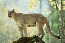 Weiblichen Cougar stehen auf Felsen im Wald. — Stockfoto