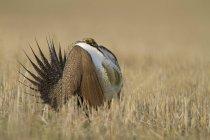 Mehr Sage Grouse mit Ausbreitung Schwanzfedern auf Wiese Mansfield, Washington, USA — Stockfoto