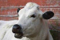 Retrato de vaca frente a granero rojo en Saskatchewan, Canadá - foto de stock