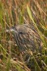 Heron de avetoro americano escondido en la hierba larga de humedal. - foto de stock