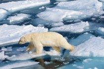 Висока кут зору полярний ведмідь на крижані пустелі Шпіцберген, Норвезька Арктики — стокове фото