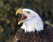 Retrato de llamar a águila calva al aire libre. - foto de stock