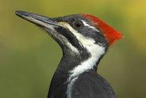 Retrato de un pájaro carpintero pájaro al aire libre. - foto de stock
