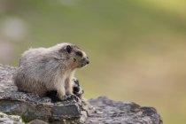 Hoary marmot sentado sobre as rochas no Parque Nacional Glacier, Montana, EUA — Fotografia de Stock