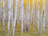 Aspen forest in autumnal foliage in Kananaskis Country, Alberta, Canada — Stock Photo