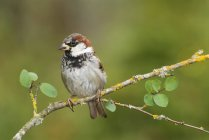 House sparrow perched on tree branch, close-up. — Stock Photo