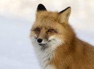 Portrait de renard roux adulte sur fond neigeux . — Photo de stock