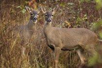 Две девушки чернохвостый олень в осенние кусты — стоковое фото