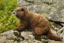 Brown Vancouver Island Marmot sitting on rocks in alpine meadow, close-up. — Stock Photo