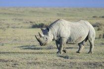 Rhinocéros noir en voie de disparition, marchant dans les savanes d'Afrique de l'est Parc National de Nakuru, au Kenya, — Photo de stock