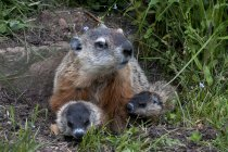 Groundhog with pups sitting in meadow of Minnesota, USA — Stock Photo