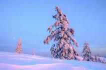 Заснеженные деревья на рассвете в Маунт Сеймур Провинциальный парк, Британская Колумбия, Канада — стоковое фото
