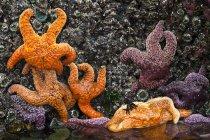 Фиолетовые и оранжевые морские звезды на скалистом берегу, крупным планом . — стоковое фото