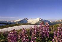 Lupine flowers in meadow near Russet Lake, Garibaldi Provincial Park, British Columbia, Canada. — Stock Photo
