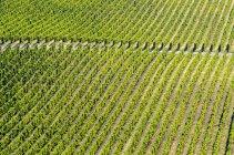 Natural pattern of grape plants in vineyard of Okanagan Valley, British Columbia, Canada. — Stockfoto