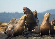 Steller Seelöwen ruht im Race Rocks in Kanada — Stockfoto