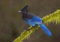 Azul-Steller jay pájaro perching en líquenes cubierto rama. - foto de stock