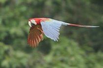 Guacamayo rojo y verde en Perú, vista lateral. - foto de stock