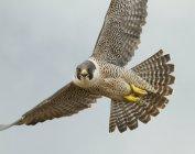 Сірий Сапсан політ з крила в Синє небо, Закри. — стокове фото