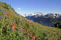 Wildflowers on hillside in Garibaldi Provincial Park, British Columbia, Canada — Stock Photo