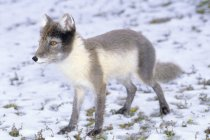 Adult arctic fox in summer pelage on snowy field. — Stock Photo