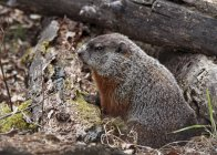 Woodchuck sitting in autumnal forest of Saskatchewan, Canada — Stock Photo