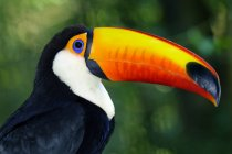 Toco toucan in tropical wetland of Brazil, South America — Stock Photo