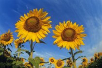 Low angle view of plants of sunflower field — Stock Photo