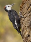 White-headed woodpecker perched on tree trunk, close-up. — Stock Photo