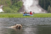 Grizzly bear crossing estuary with boat of tourists in background, Khutzeymateen protected area, Canada — Stock Photo