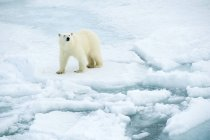 High angle view of polar bear on icy wilderness of Svalbard Archipelago, Norwegian Arctic — Stock Photo
