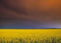 Canola field and stormy sky in Holland, Manitoba, Canada — Stock Photo