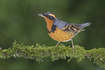 Varied thrush perched on moss-covered branch in woodland — Stock Photo
