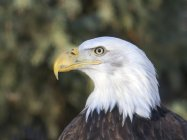 Porträt der Weißkopf-Seeadler Greifvogel im freien. — Stockfoto