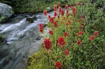 Paintbrush flowers by stream, Joffre Lakes Provincial Park, British Columbia, Canada. — Stock Photo