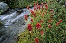 Fleurs de pinceaux par ruisseau, parc provincial Joffre Lakes, Colombie-Britannique, Canada . — Photo de stock