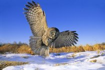 Great gray owl hunting over snow covered field. — Stock Photo