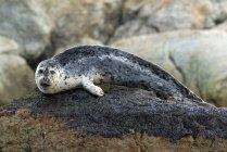 Тюлень звичайний відпочиваючи на риф рок в морській воді і, дивлячись в камери. — стокове фото