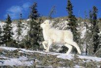 Dall schafe lamm klettern auf winter range, kluane nationalpark, yukon, canada — Stockfoto